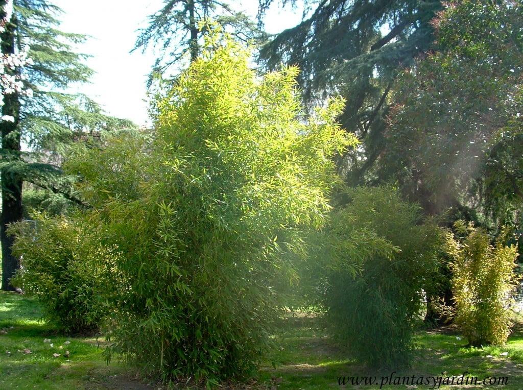 Conjunto de Bambú chino, Phyllostachys aurea