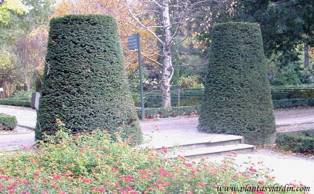 parterre de Lantana camara con Taxus baccata en Arte topiario.