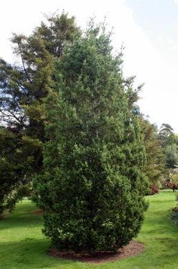 Podocarpus andinus.