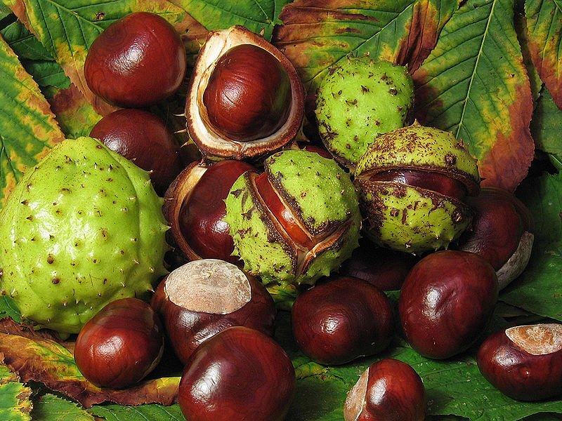 detalle de frutos, castañas, del Aesculus hippocastanum. Foto: Wikipedia.
