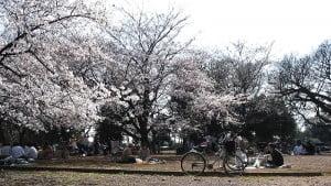 Fiesta del Hanami en Japón. Foto: Wikipedia.