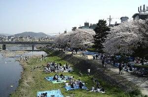 Fiesta del Hanami al lado del río. Foto: Wikipedia