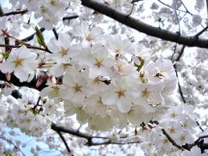 cultivar de Yoshino en Washington D.C. Foto: Wikipedia.