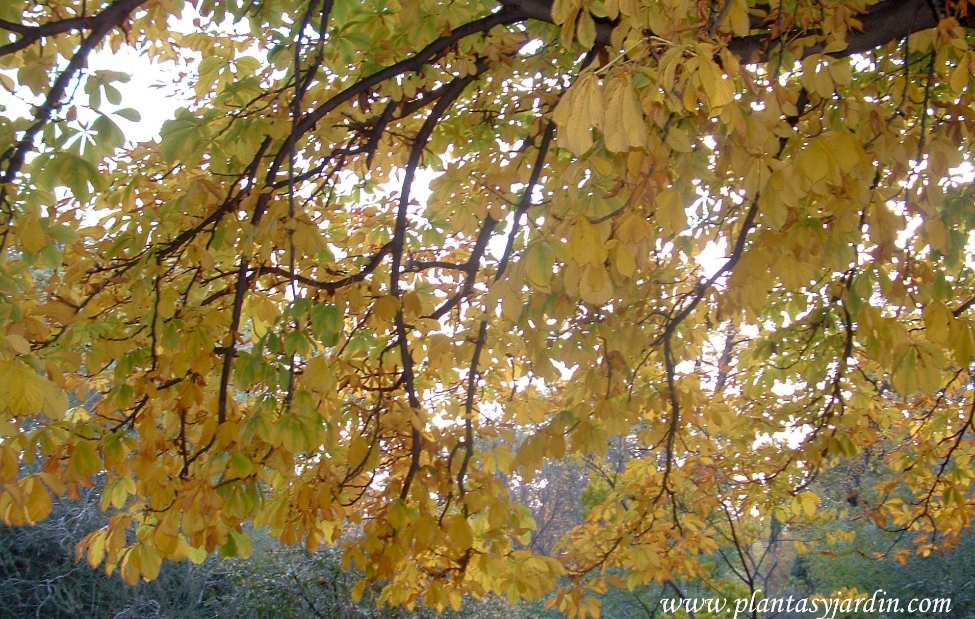 Acer Buergerianum Acer Tridentado Arce Tridente Plantas Y Jardín