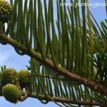 Araucaria, detalle de conos en verano.