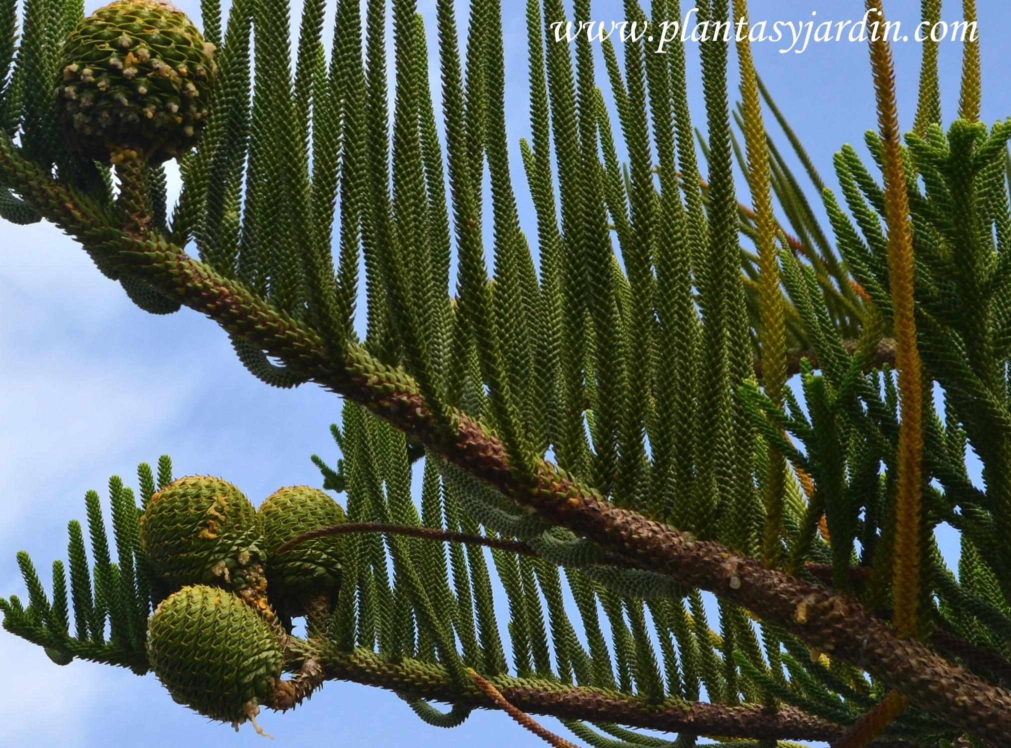 Con feras nativas de argentina plantas jard n for Coniferas de jardin