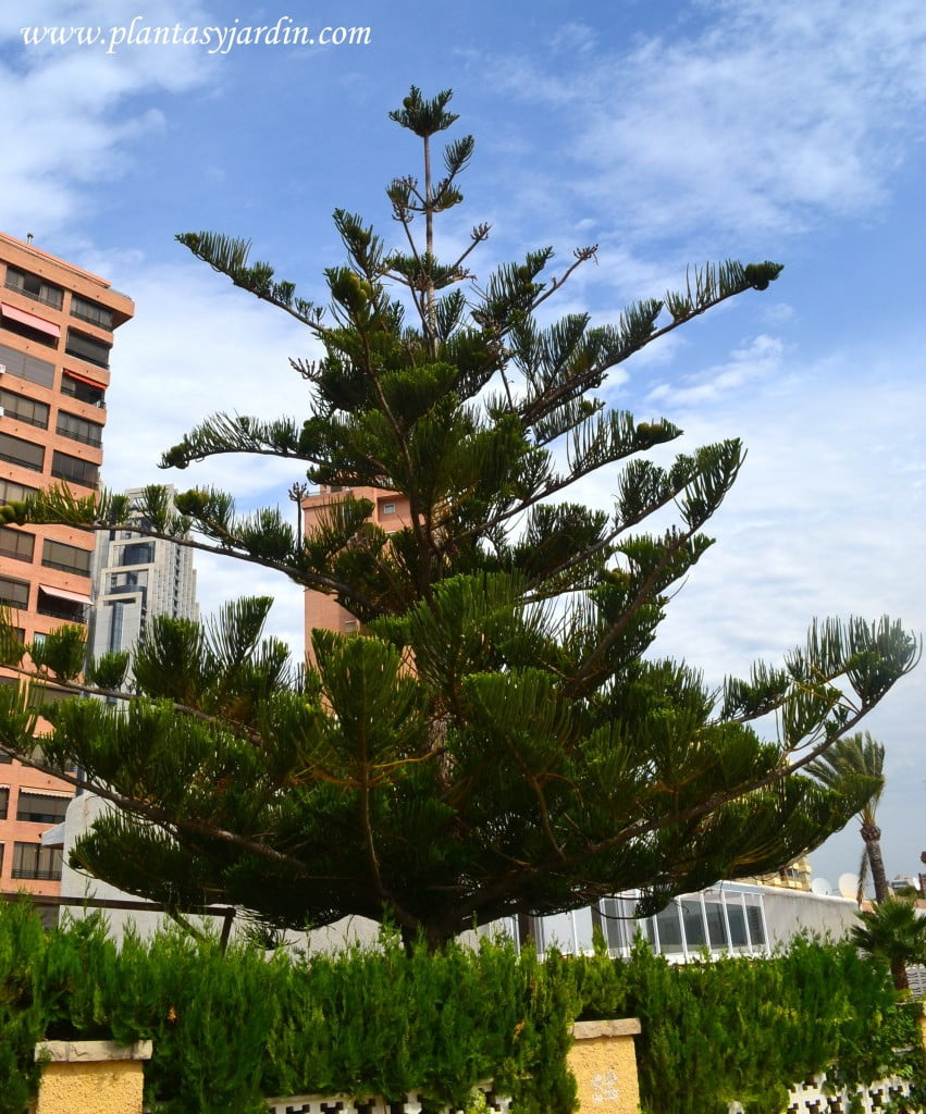 Araucaria araucana en verano