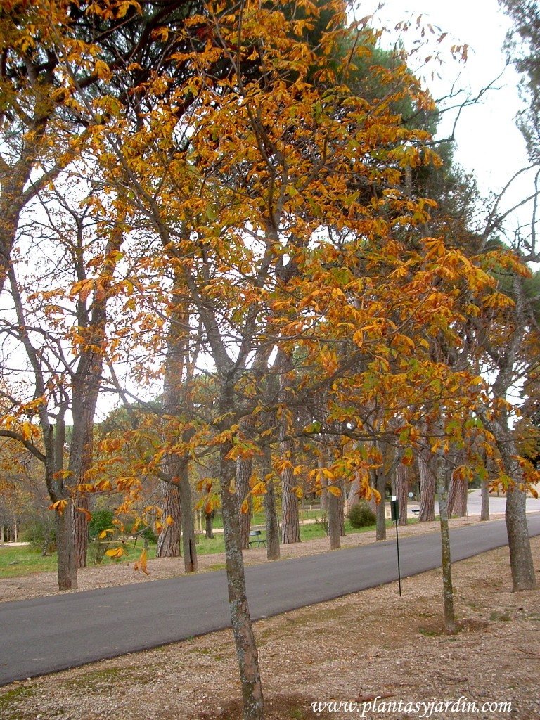 Castaño de Indias bordeando al Paseo del Príncipe en los Jardines del Real Monasterio de San Lorenzo de El Escorial.