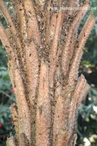 Cyathea caracasana-Helecho arbóreo, detalle estípite.