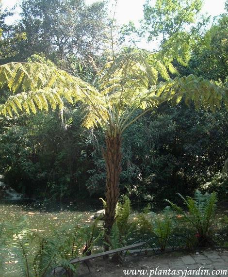 Cyathea caracasana-Helecho arbóreo.
