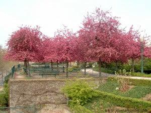 Prunus cerasifera en la Promenade Plantée-Paris.