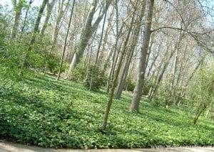 especies caducas con Hiedra como tapizante-cubresuelos, en el Jardín del Príncipe-Aranjuez.