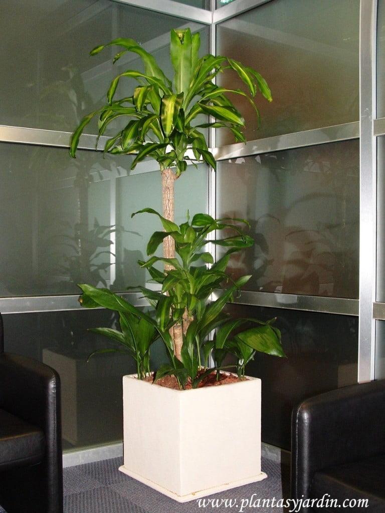 """Dracaena fragans """"Massageana""""-Tronco de Brasil-Palo de agua, cultivada en un interior"""