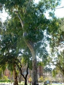 Eucalyptus camaldulensis-Eucalypto rojo.