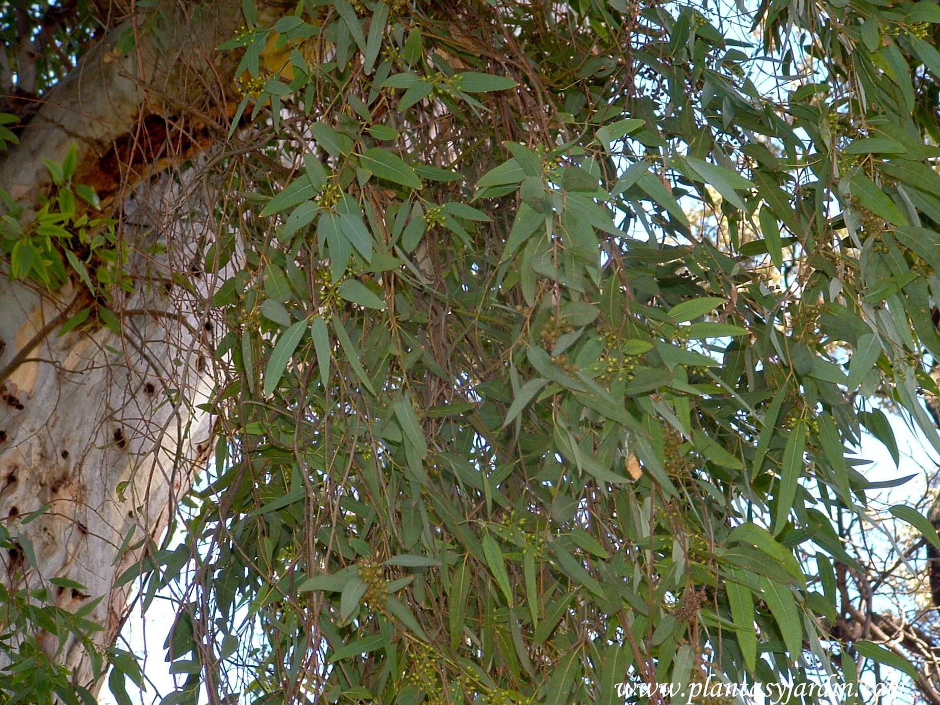 Eucalyptus camaldulensis-Eucalypto rojo, follaje.