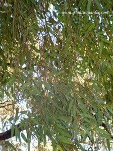Eucalytptus camaldulensis.