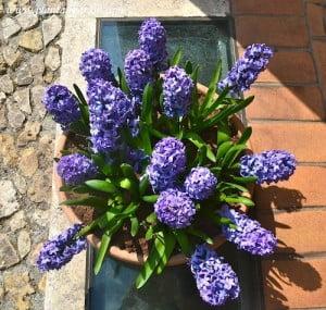 Jacintos florecidos a comienzos de la primavera
