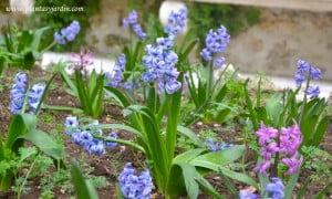 Jacintos violetas y fucsias