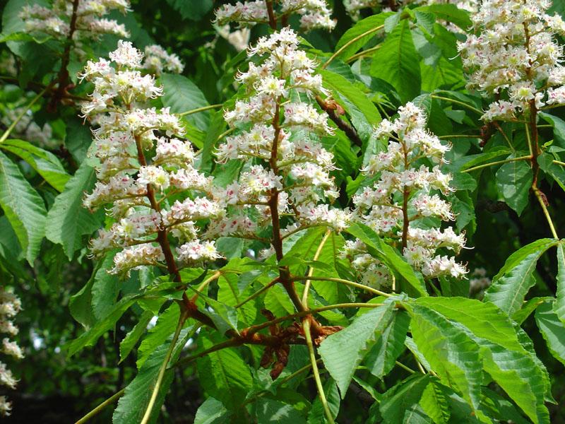detalle de flores de Aesculum hippocastamun. Foto: Wikipedia.