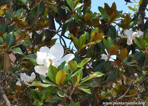 Magnolia grandiflora en flor.
