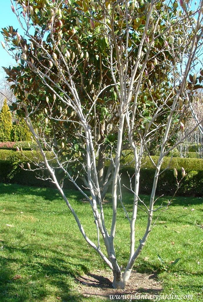 Magnolia liliflora, detalle del esqueleto y ramas.