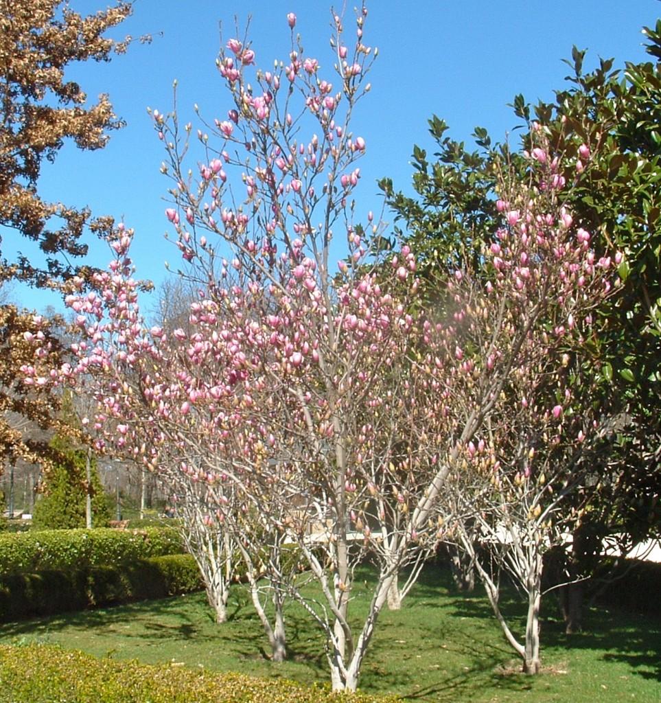 Magnolias lilifloras cultivadas en pequeños grupos.