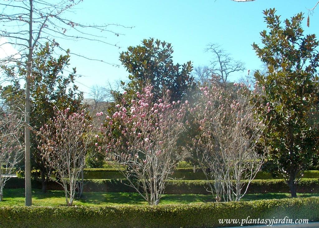 Magnolias lilifloras, recien florecidas junto con Magnolias grandifloras.