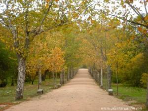 Paseo de La Cruz-Plátano de sombra-Platanus x hispanica en Los Jardines Reales del Monasterio de El Escorial-Madrid.