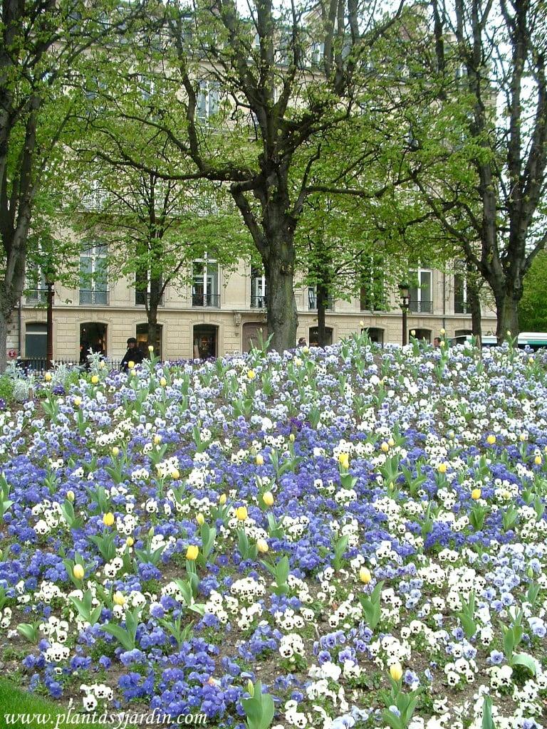 Pensamientos-Viola x wittriockana, en primavera
