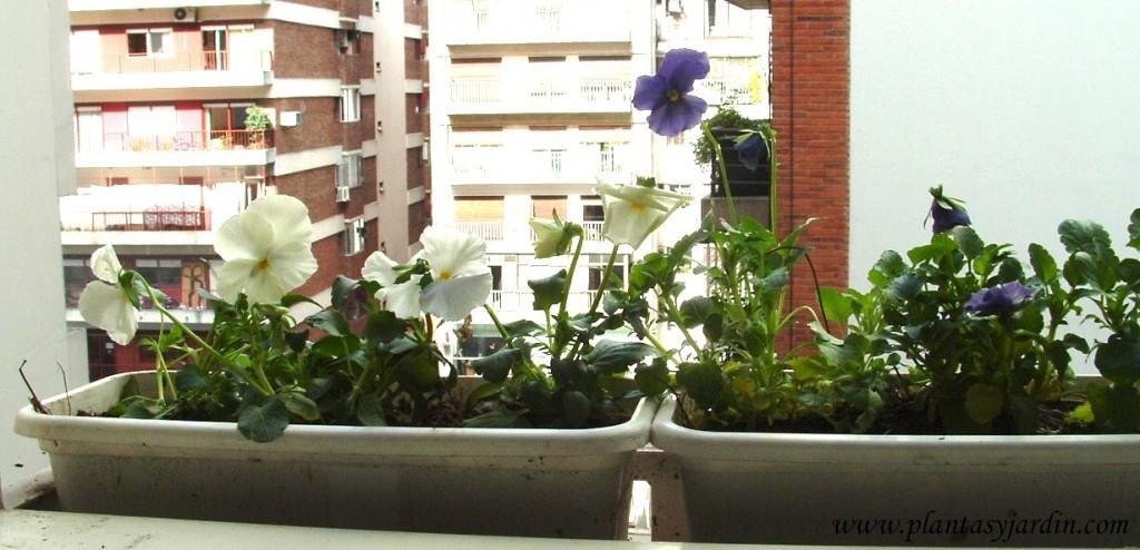 Pensamientos-Viola x wittrockiana en pequeñas jardineras