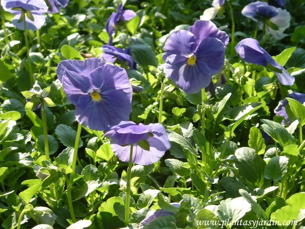 Pensamientos-Viola x wittockiana