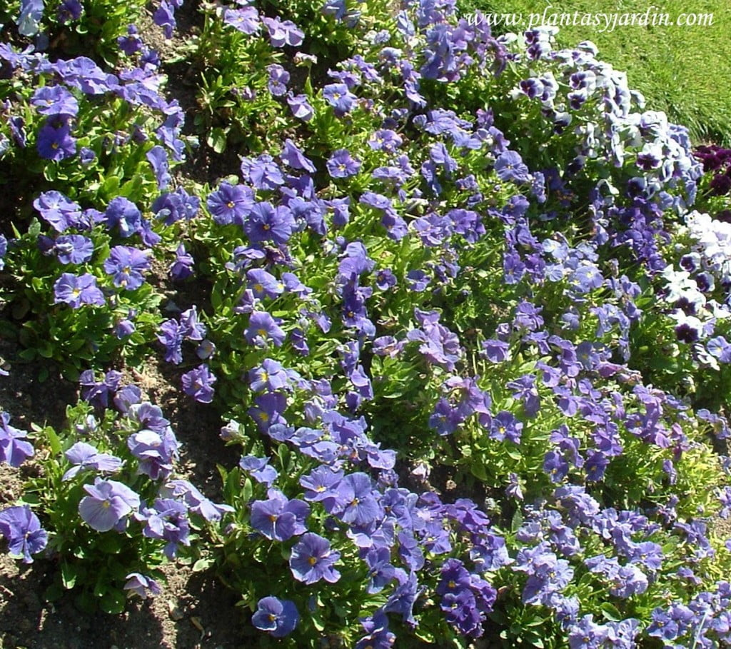 Pensamientos cultivados en primavera en macizos florales de temporada en los Jardines Reales de Aranjuez-Madrid