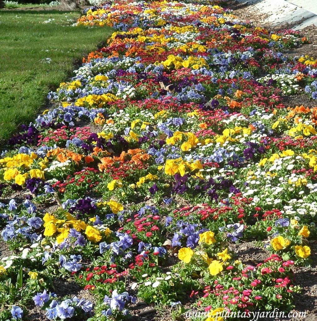 Pensamientos, lilas y amarillos, a la entrada de los Jardines del Templo de Debod