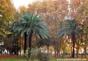 Platanus y Phoenix en otoño en Córdoba-Andalucía, contrastes de colores y texturas