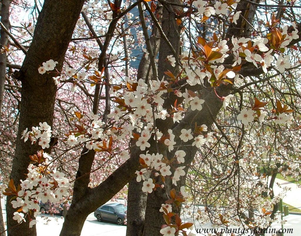 Prunus cerasifera de flores blancas.