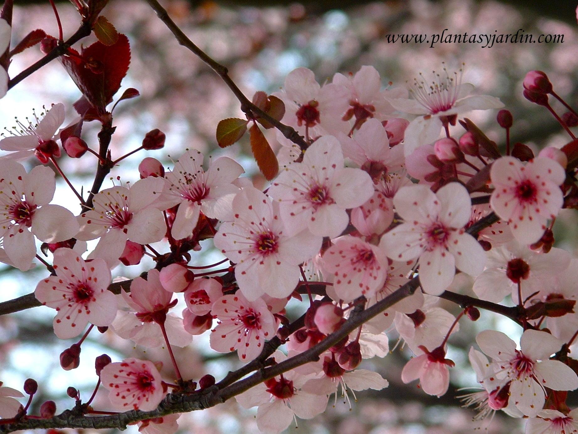 Prunus cerasifera, detalle de flor, a finales del invierno.
