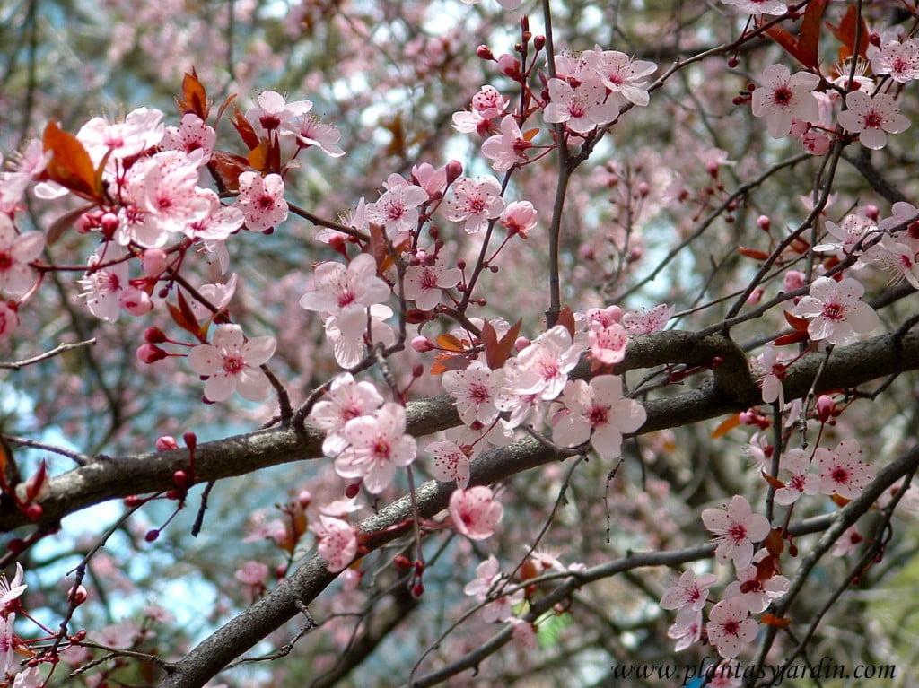 Prunus cerasifera, detalle de flor & ramas, a finales del invierno.