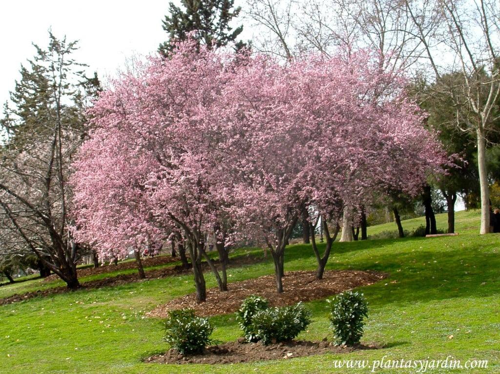 Prunus cerasifera, recien florecidos a finales del invierno.