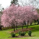 Prunus, Cerezos florecientes