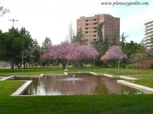 Prunus delante de un estanque.
