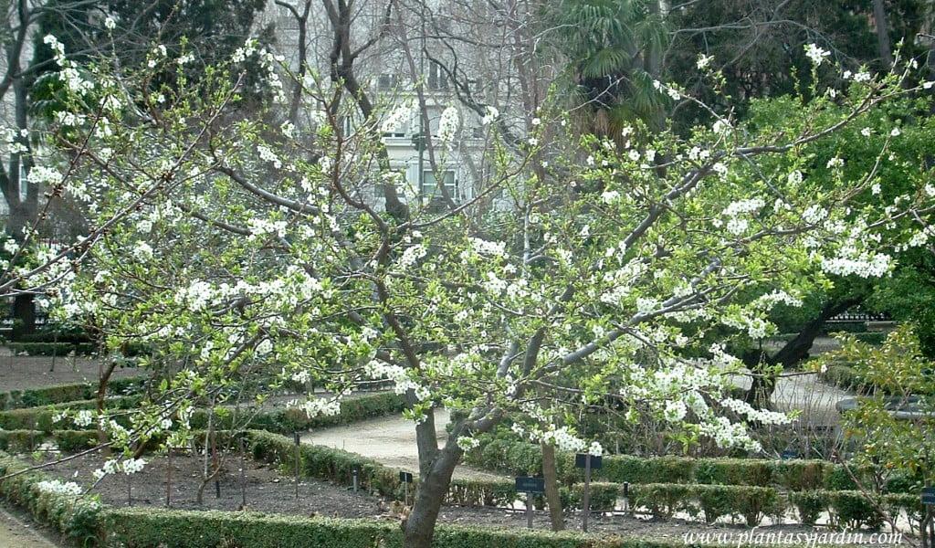 """Prunus domestica-Ciruelo """"Golden Japan"""""""