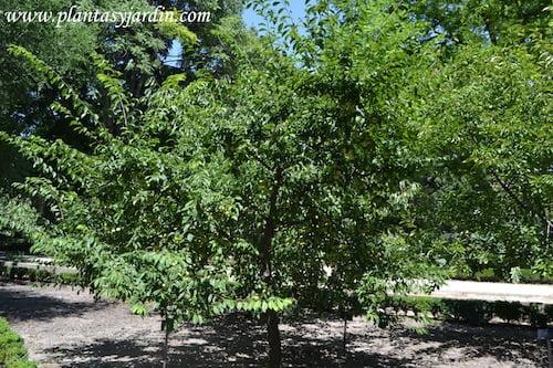 Prunus domestica Golden Japan con frutos en verano.