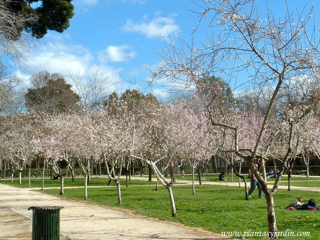 Prunus dulcis-Almendro, florecidos a finales del invierno, en los jardines del Buen Retiro-Madrid.