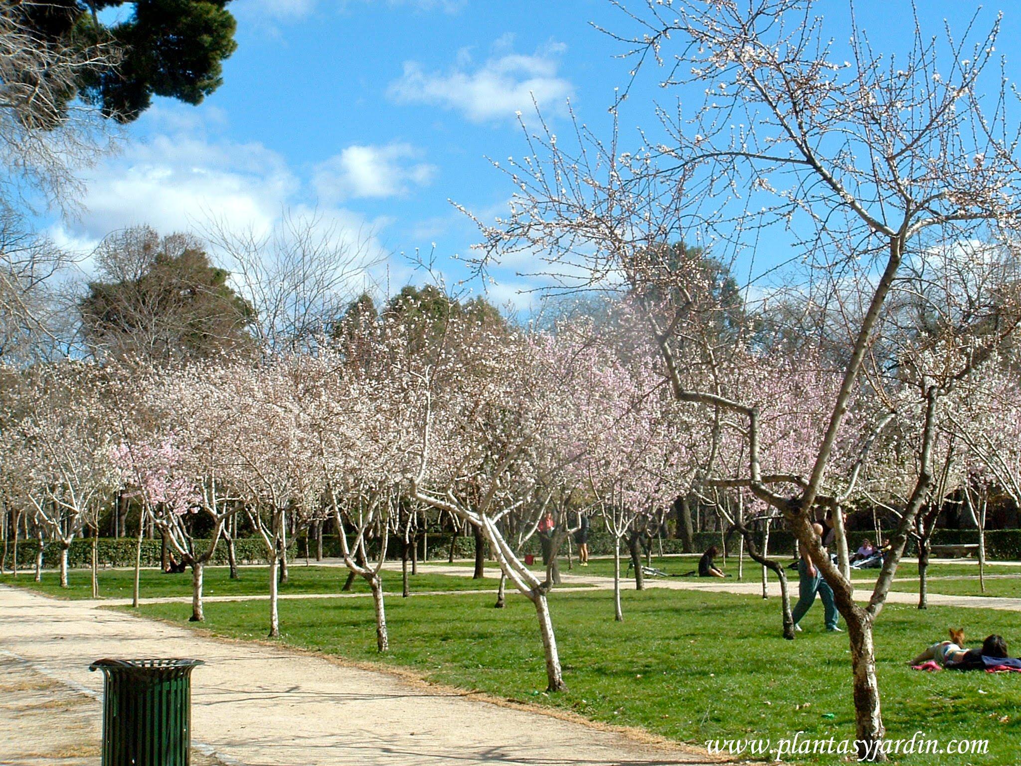 Prunus dulcis almedro florecidos a finales del invierno for Ver imagenes de jardines de invierno