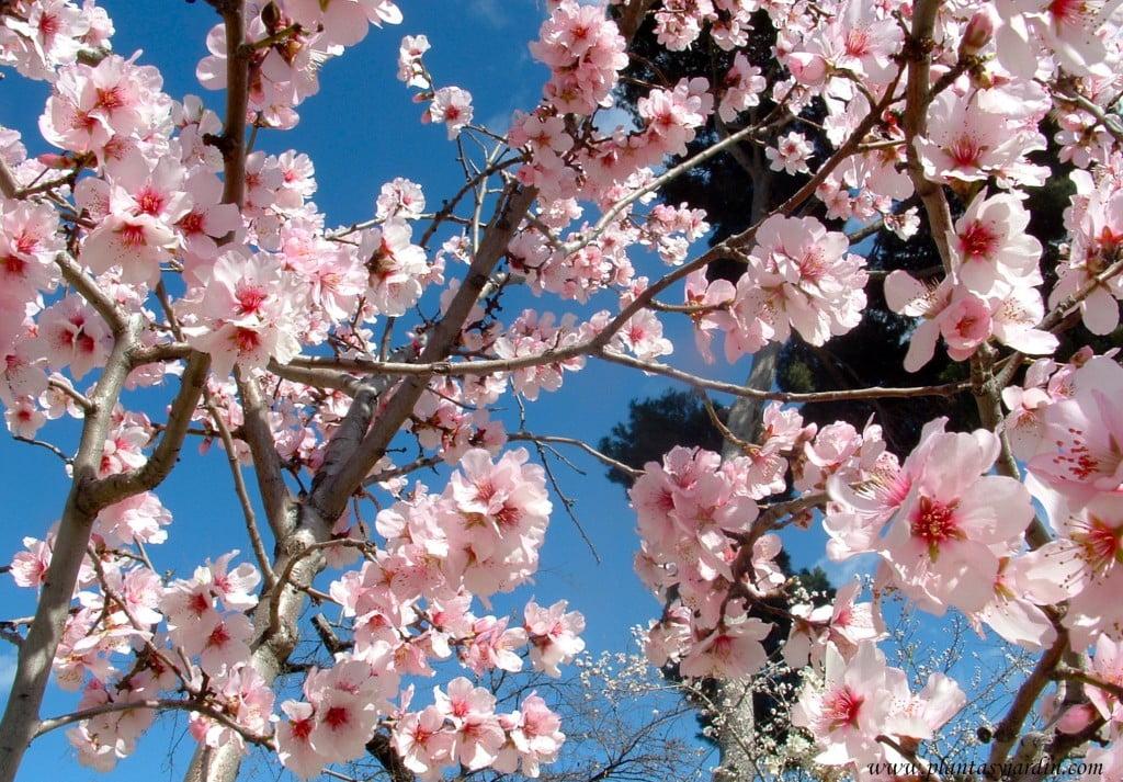 Prunus dulcis-Almendro, de flores rosadas, detalle flores.