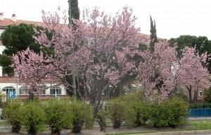 "Prunus cerasifera ""Atropurpurea"" muy común en las calles de Madrid."