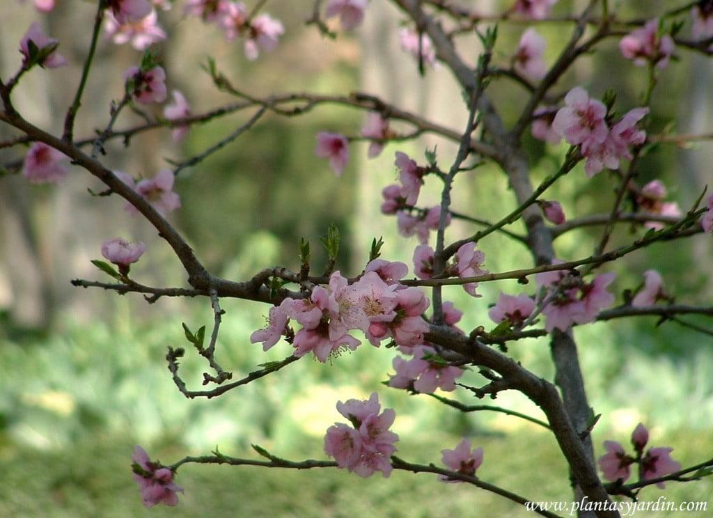 """Prunus persica-Nectarino """"Fantasia"""", detalle flores."""