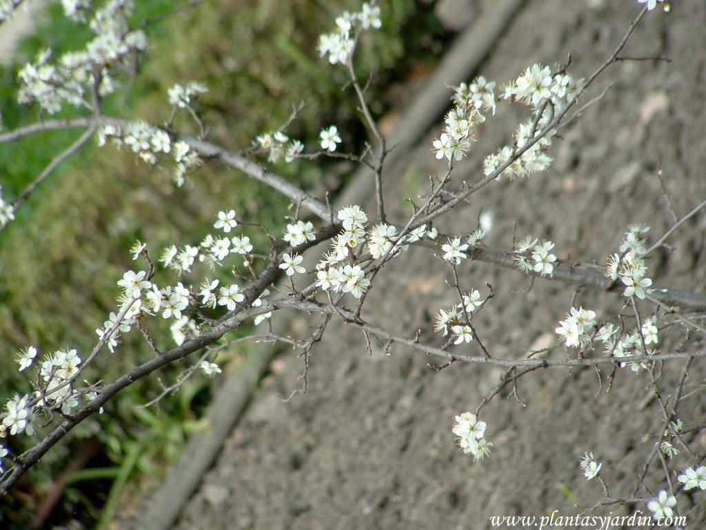 Prunus spinosa-Endrino, detalle flores.