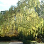 Salix babilonica-Sauce llorón.