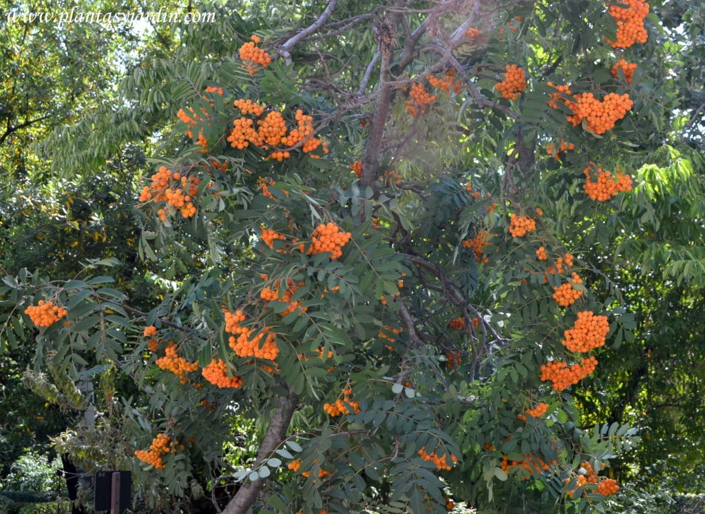 Sorbus aucuparia con bayas naranjas en la planta a comienzos del verano.